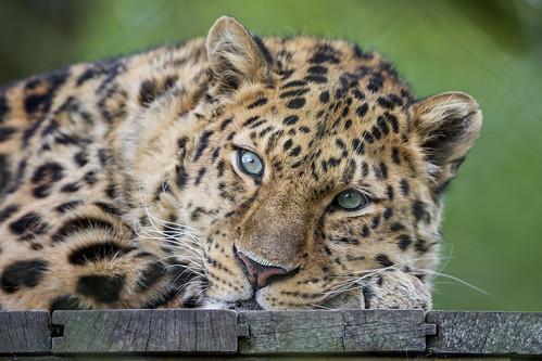 Akin lying on his platform by Tambako the Jaguar