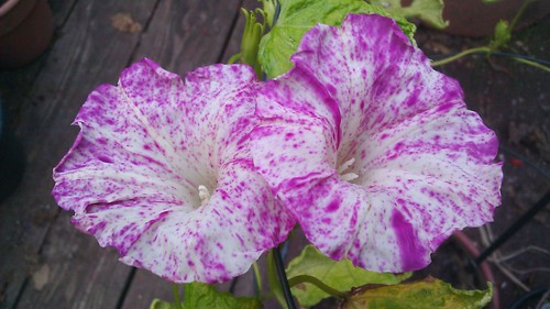 Ipomoea nil Q0962 Plant 3 by Gerris2
