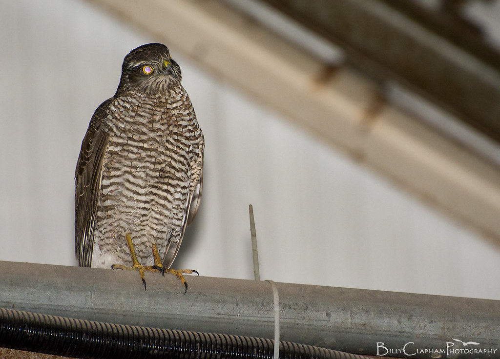 sparrowhawk tapetum lucidum eyeshine eye