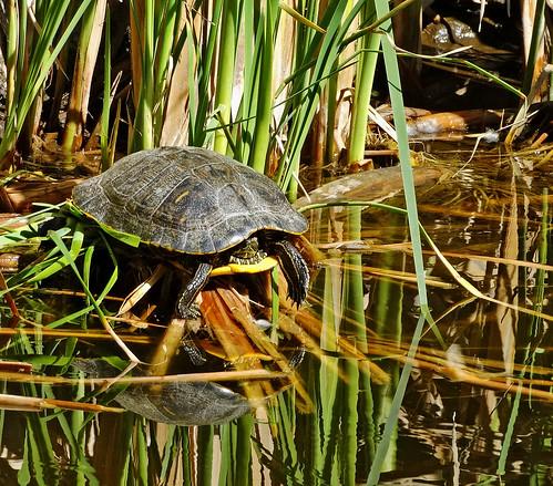 Turtle Sun Bathes, Living Desert 3-15