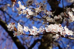 Cherry Blossoms 桜 🌸