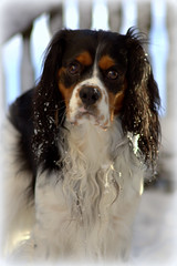 dog breed, animal, dog, welsh springer spaniel, pet, king charles spaniel, field spaniel, english cocker spaniel, spaniel, french spaniel, english springer spaniel, cavalier king charles spaniel, carnivoran,