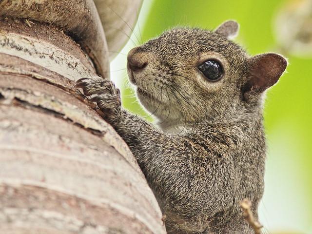 Gray Squirrel 2-20150326