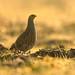 Grey Partridge (Perdix perdix) by m. geven