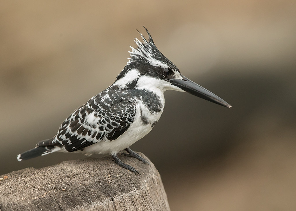 Pied Kingfisher  Gambia
