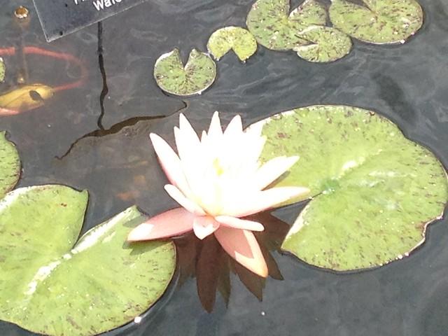 Minnesota Water Lily