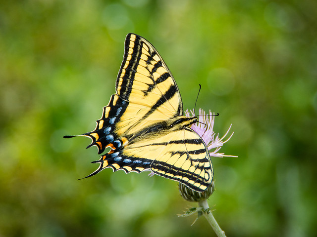 Two-tailed Swallowtail, Okanagan, BC