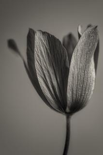 Anemone pavonina