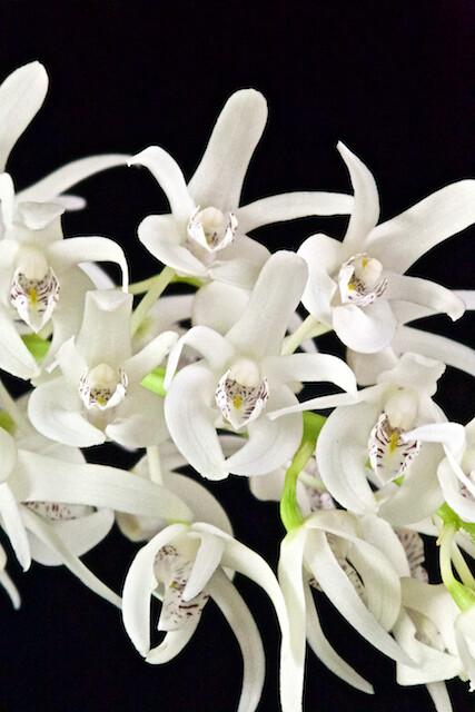 Dendrobium ruppianum 16604807137_ef9bdb0ba1_z