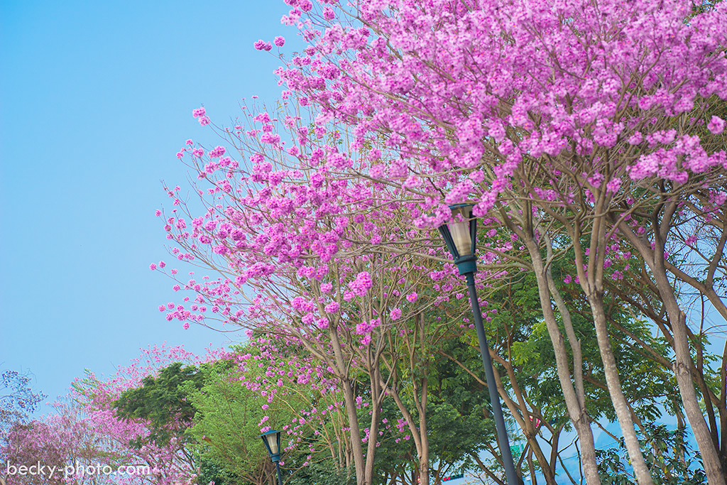 2015.Mar Tabebuia rosea 風鈴木 @Taichung