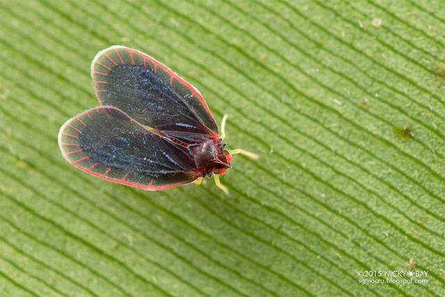 Derbid planthopper (Derbidae) - DSC_4612