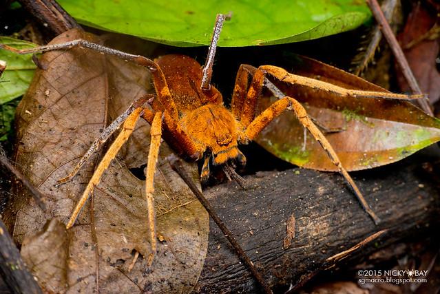 Orange huntsman spider (Sparassidae) - DSC_3697