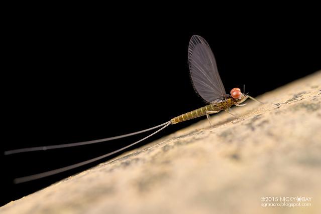 Mayfly (Ephemeroptera) - DSC_4636