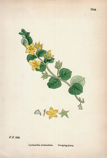 Hand-colored lithography: Lysimachia nummularia