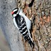 Pic mineur/Downy woodpecker-Morgan Arboretum,QC