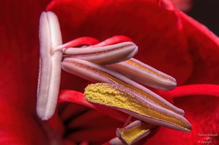 Stamens on Red
