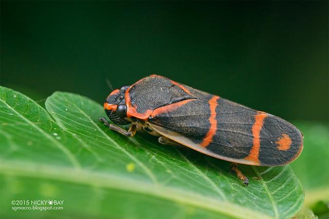 Froghopper (Cercopidae) - DSC_3487