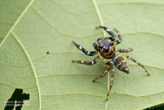 Jumping spider (Salticidae) - DSC_4062