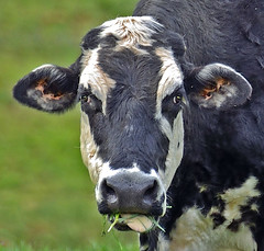 CATTLE CLOSE UP