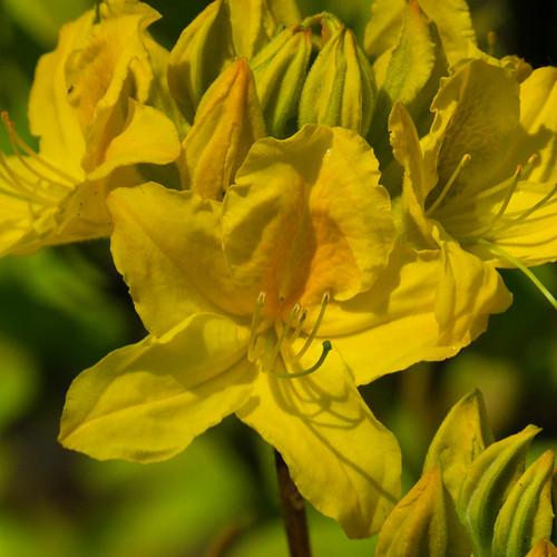 Yellow: azalea flowers opening