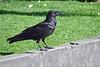Common Raven, Prescott, AZ