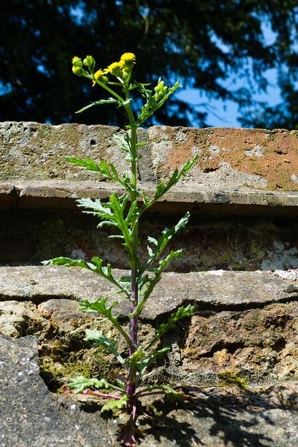 Groundsel growing on a wall