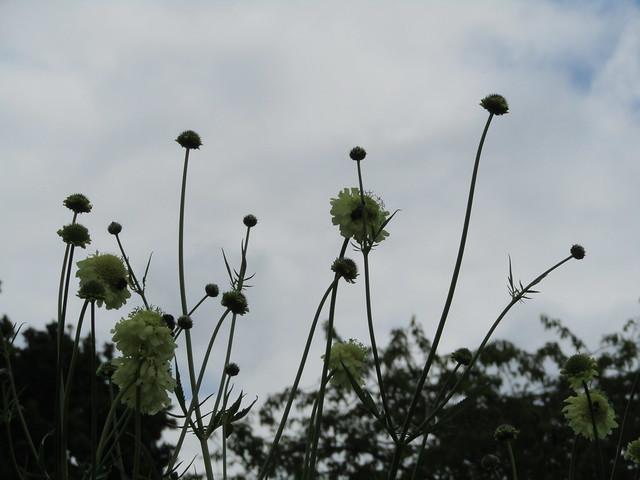 Header of Cephalaria gigantea