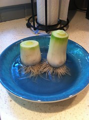 Regrowing leeks - day 1