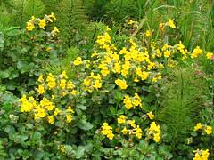 wildflower(0.0), annual plant(1.0), shrub(1.0), flower(1.0), yellow(1.0), plant(1.0), subshrub(1.0), flora(1.0), common tormentil(1.0), meadow(1.0),