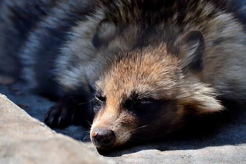 野毛山動物園のタヌキ (Raccoon Dog of Nogeyama Zoo)