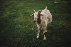 Goat [04.14.13]
