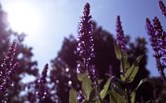 Salvia 'Cardona'