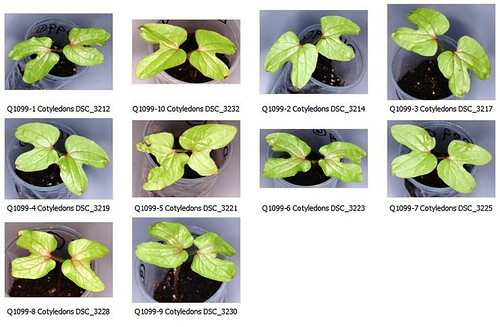 Q1099 Cotyledons Contact Sheet by Gerris2