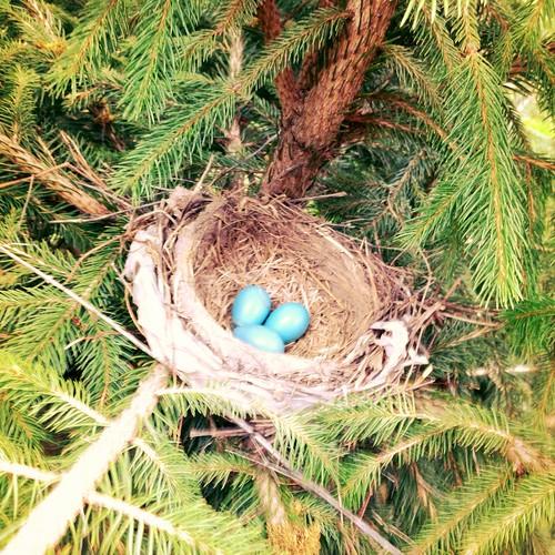 Mama Robin's Eggs