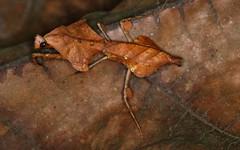 Malaysian Dead Leaf Mantis (Deroplatys lobata)