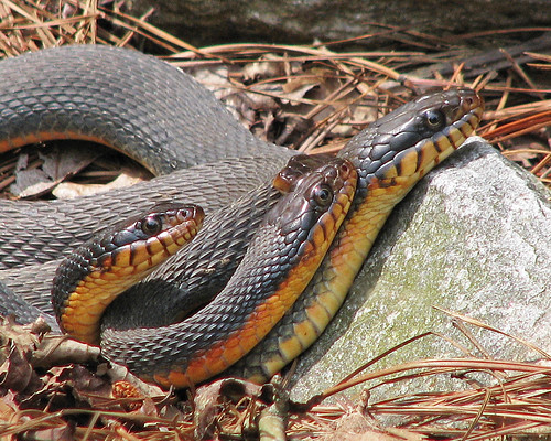mating Red-bellied watersnakes (Nerodia erythrogaster) - WILD by Vicki's Nature