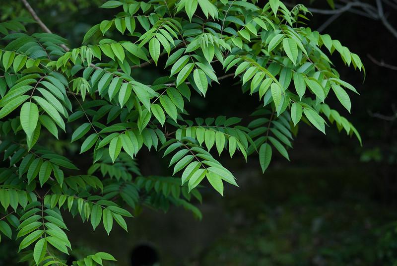 五月緑leaves in may