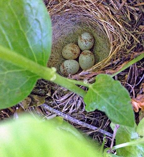 birdie eggs
