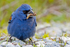 Blue Grosbeak with Bug