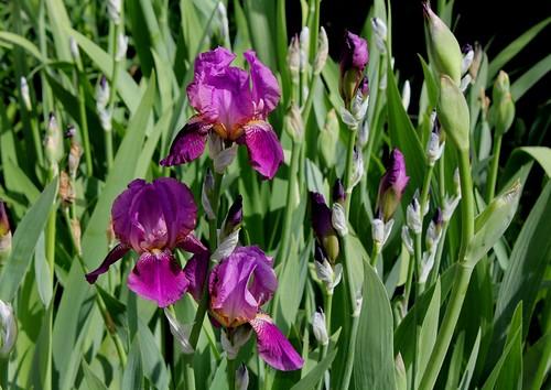 Nos Iris : floraisons 2012 - Page 2 8740667138_4445d0646d