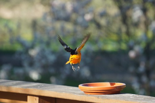 Oriole taking off