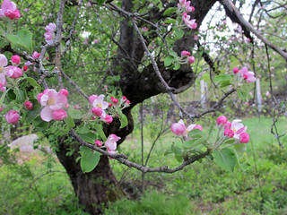 one of the Harris Center's old apple trees, in spring bloom (photo: Brett Amy Thelen)