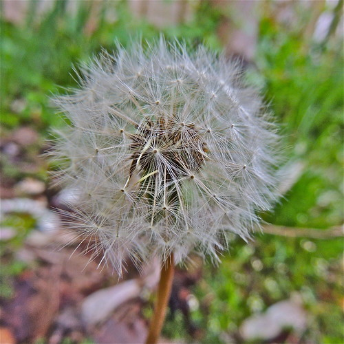 Dandelion Clock ........(135/365) by Irene_A_