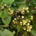Corymbia torelliana seed capsules