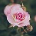 Rosae by Itziar Aio