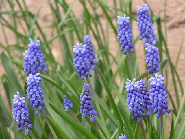 Muscari 'Dark Eyes'