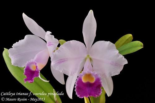 Cattleya trianae f. coerulea pincelada by Mauro Rosim