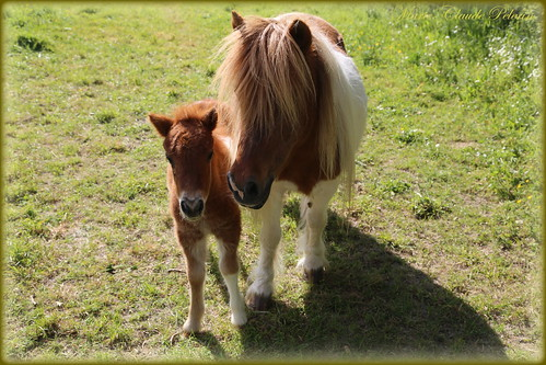 PONIES Mother and Baby