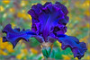Fabulous Bearded Iris III - Deep Blue in Magic Hour