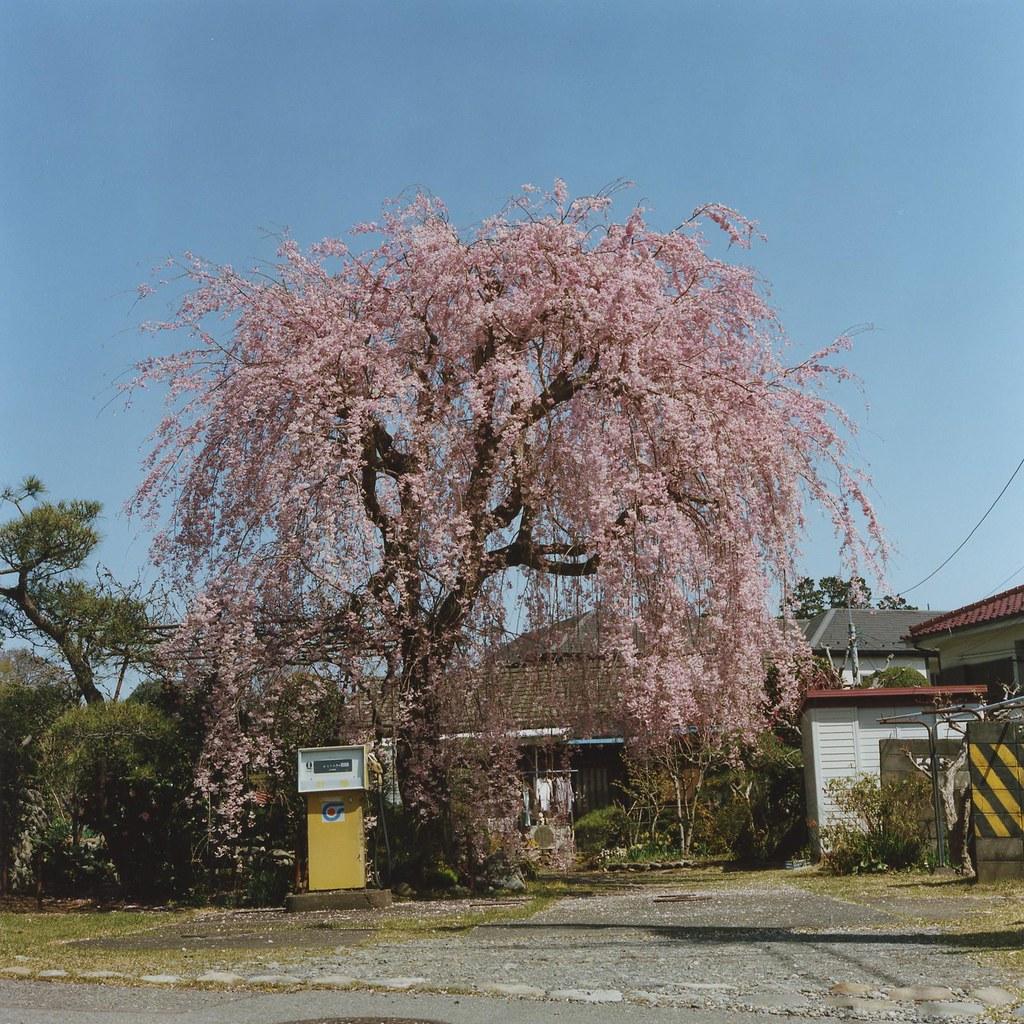 large cherry tree